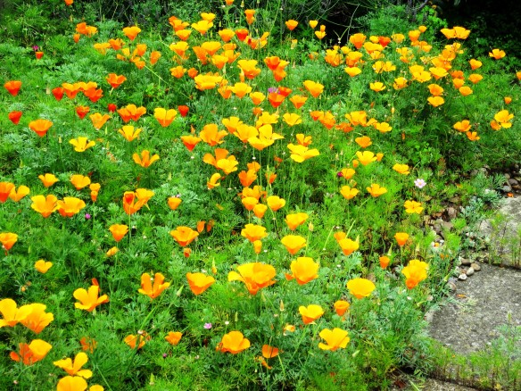 California poppies, Morden 6.12