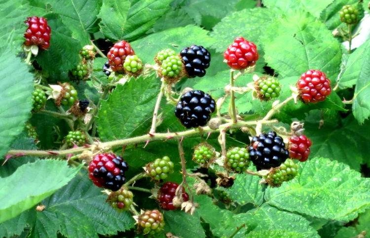 Blackberries 8.12