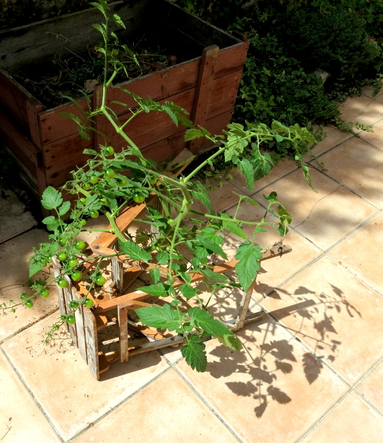 Propped tomatoes 8.12