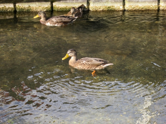 Ducks, Stockbridge 9.12