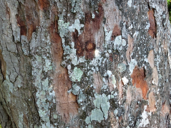Tree bark, Mottisfont 9.12