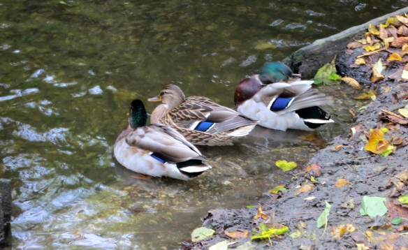 Mallards by Wandle 10.12
