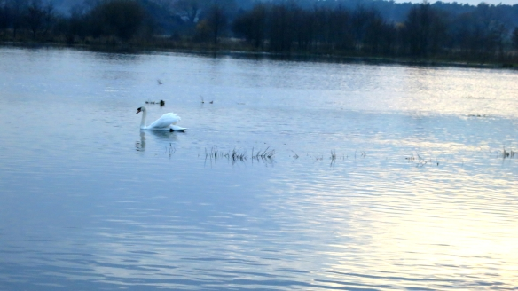 Swan on field, Ringwood 11.12
