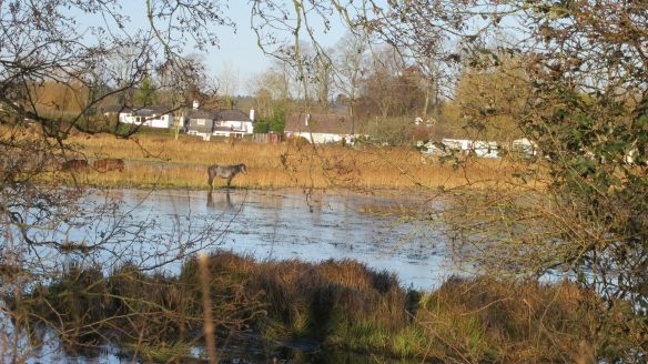 Horses in waterlogged field, Ringwood 12.12