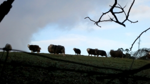 Silhouetted sheep 12.12