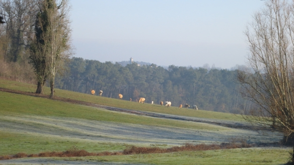 Cattle in frosty landscape 1.13
