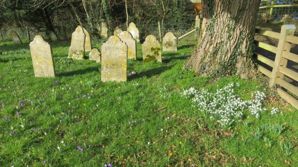 Spring bulbs in churchyard 2.13