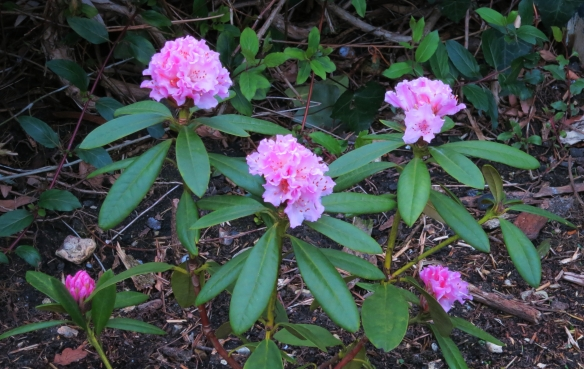 Rhododendron 1.13