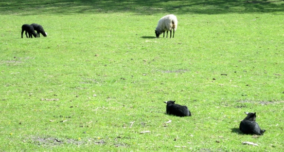 Black lambs and ewe