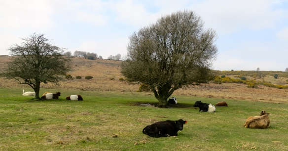 Cattle basking