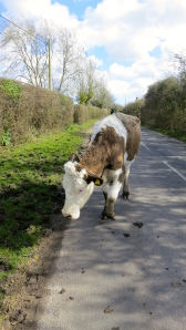Cow following me