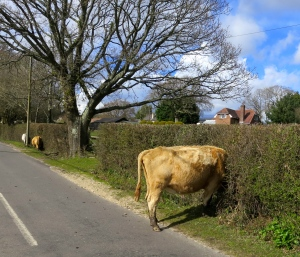 Cow in hedge