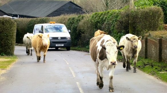 Cows on road (2)