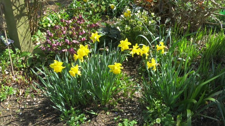 Daffodils, hellebore, and primroses