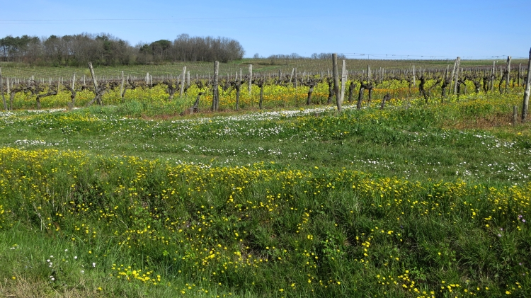 Dandelions and marigolds among the vines