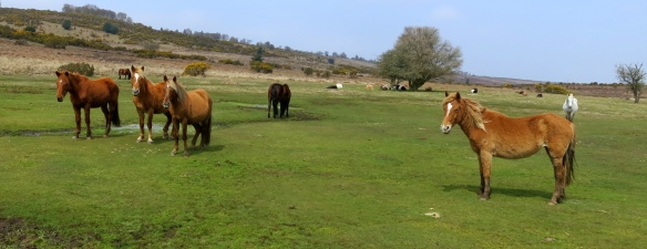 Ponies and cattle