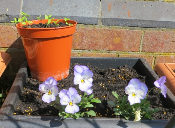 Violas, and tagetes seedlings