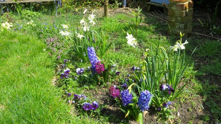 White narcissi, pansies, hyacinths, muscari in scented bed
