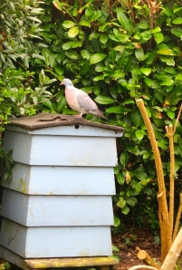 Woodpigeon on Beehive