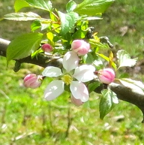 Apple blossom (cropped)