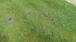 Rabbit damage to lawn