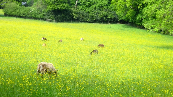 Soay sheep in field of buttercups
