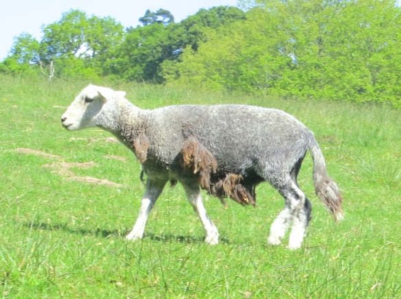 Badly shorn sheep