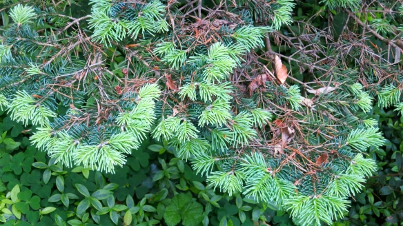 Fir's new growth