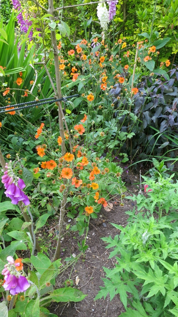 Geum and foxgloves