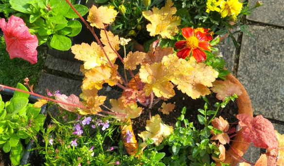 Heuchera etc