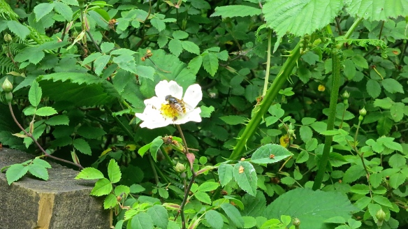 Hoverfly on dogrose