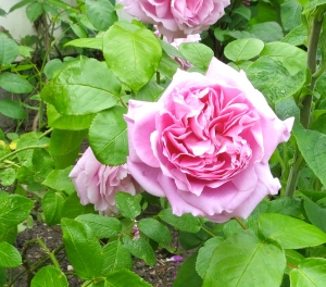 Old English scented rose