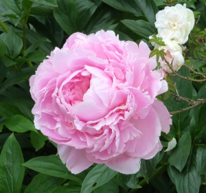 Peony and rose, Mottisfont