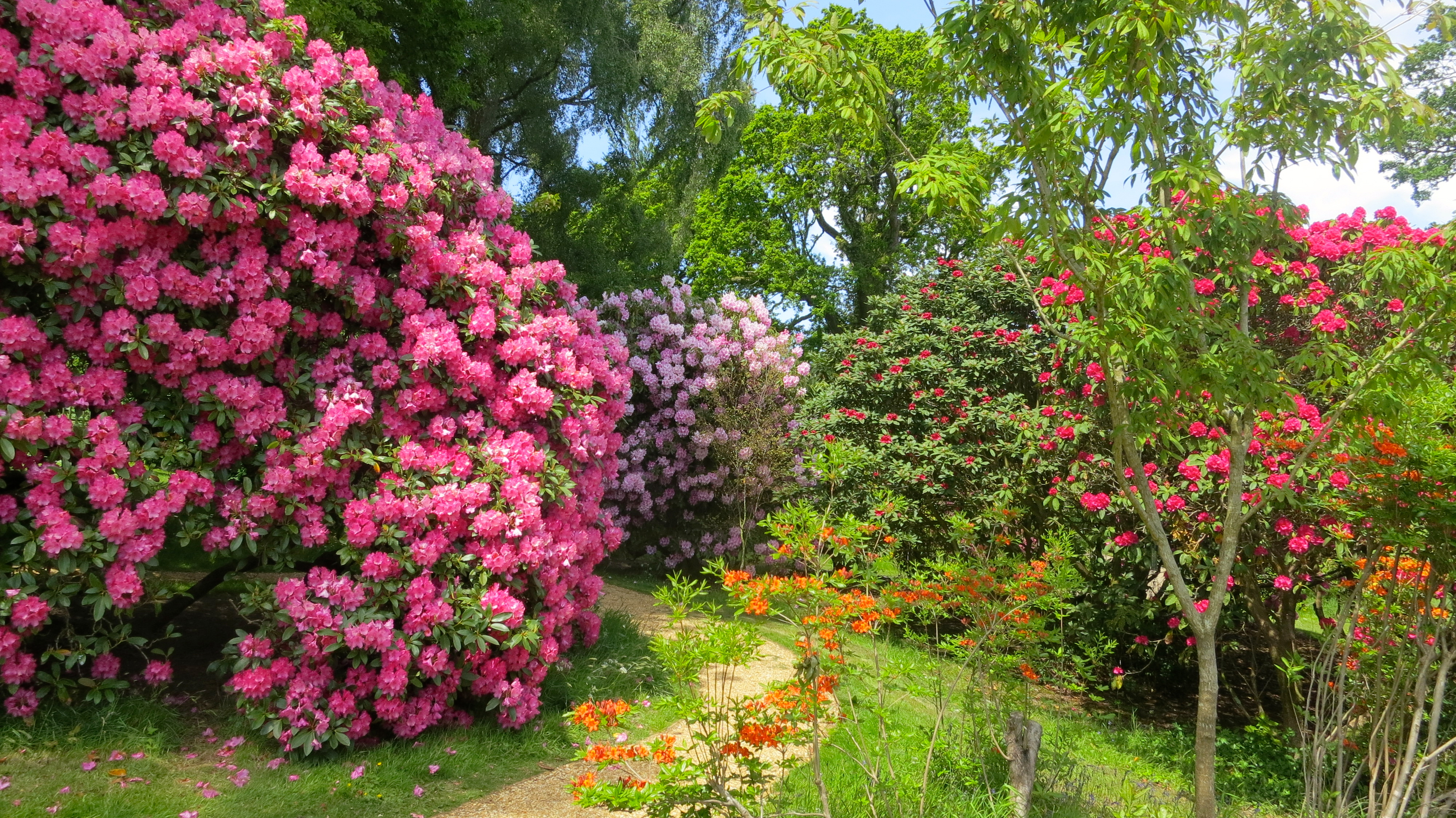 Magical rhododendron tree images for Most beautiful garden trees