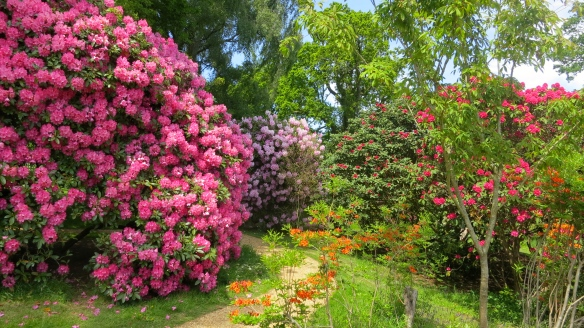 Rhododendrons at Furzey gardens