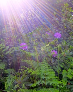 Rhododendrons in shafts of sun