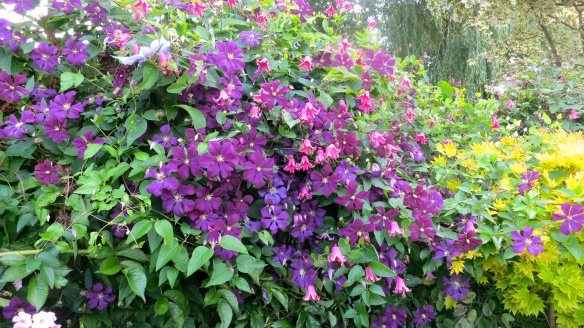 Clematis shrubbery