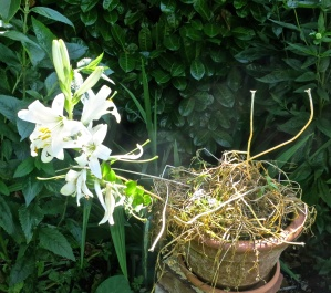 Madonna lily and dried up pansies and tulip stalks