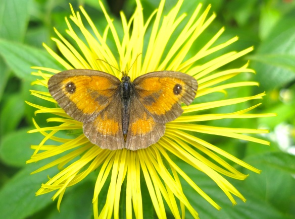 Meadow Brown butterfly on Inula