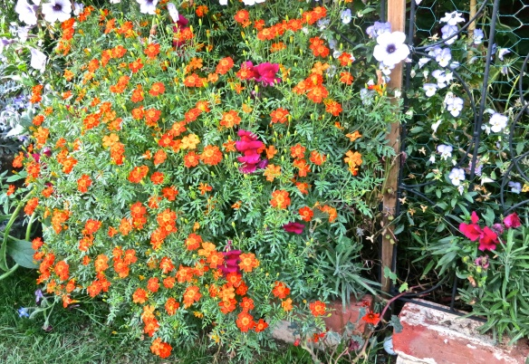 Tagetes and snapdragons