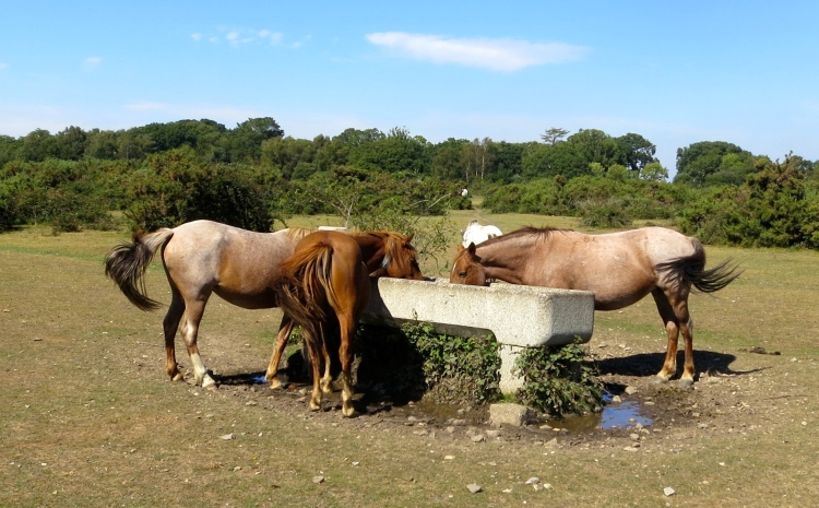 Ponies at trough