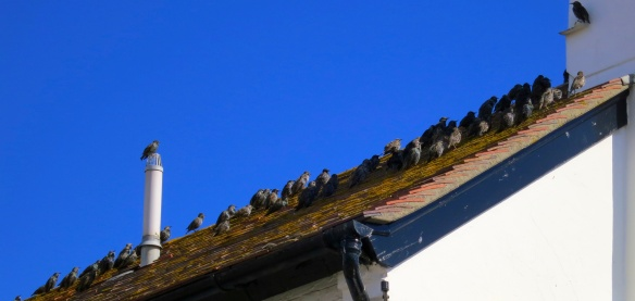 Starling rooftop congregation