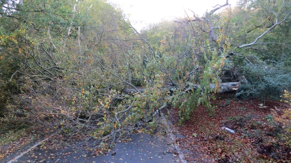 Fallen tree in Seamans Lane