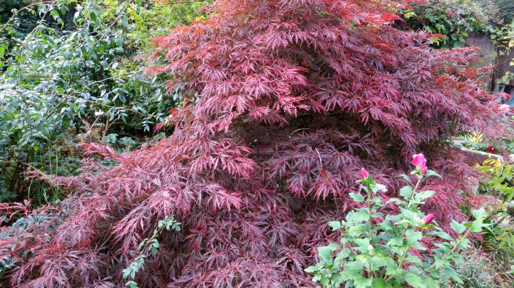 Maple, The Old Post House garden