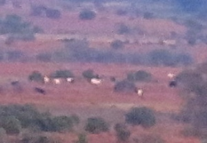 Cattle on heathland from Abbots Well car park - Version 2
