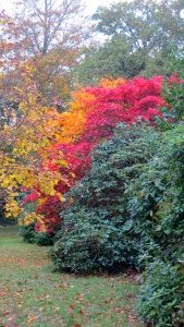 Maples and rohododendrons