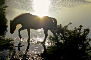 Pony in pond (backlit)
