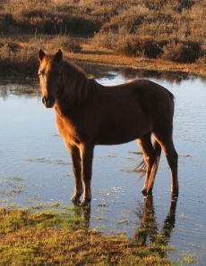 Pony in pond