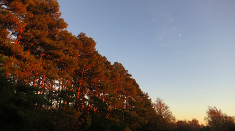 Pines and moon