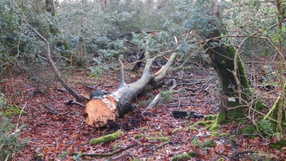 Fallen tree Malwood